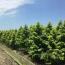 江苏常年供应4~8公分金叶水杉