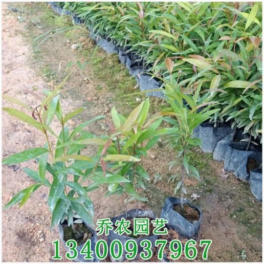 漳州高20公分红车苗