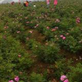 江苏常年供应食用玫瑰