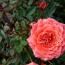 江苏钻石玫瑰