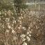 江苏常年供应结香树