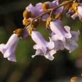 江苏常年供应泡桐树