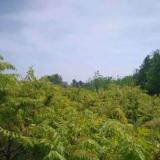 江苏常年供应火炬树