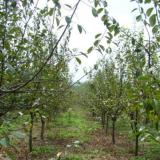 2米木瓜树