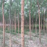 5米高旱柳