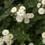 150公分蔷薇苗