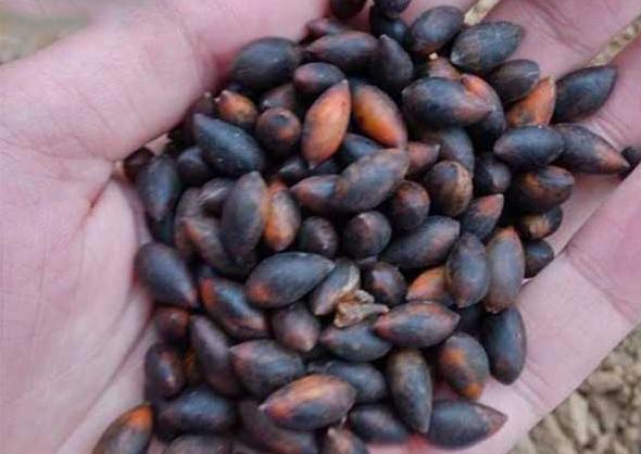 金丝楠木种子