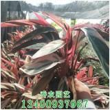 漳州高30公分七彩竹芋