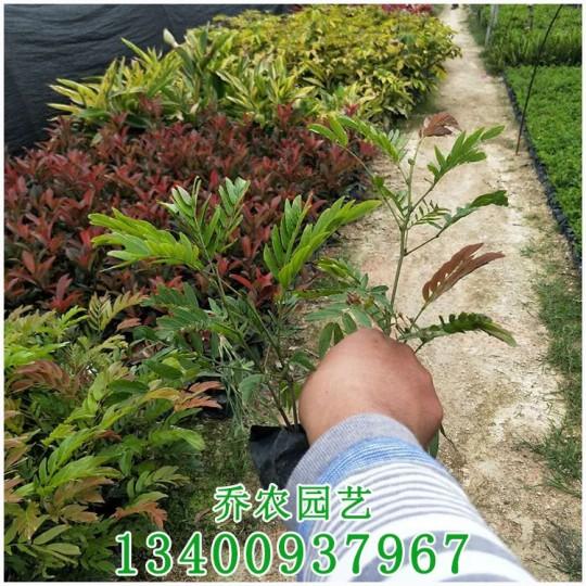 漳州高50公分绣球花
