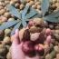七叶树绿化种子