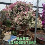漳州多种花色三角梅盆景