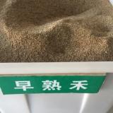 早熟禾净籽种子供应