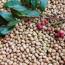 清香木种子多少钱一斤 清香木种子价格