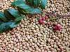 清香木種子多少钱一斤 清香木種子價格
