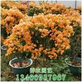 高1.1米加州黄三角梅盆栽