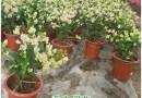 福建高40公分绿叶樱花三角梅盆栽