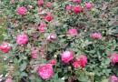 玫瑰月季 25公分高丰花月季