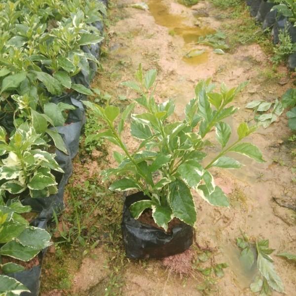 花叶假连翘袋苗  大量批发供应