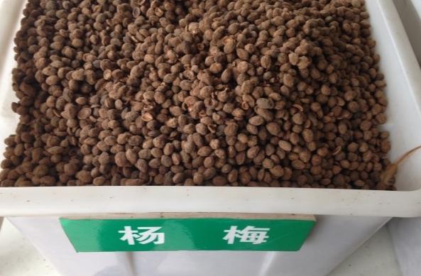 杨梅绿化种子供应