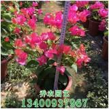 高50公分四季红三角梅盆栽