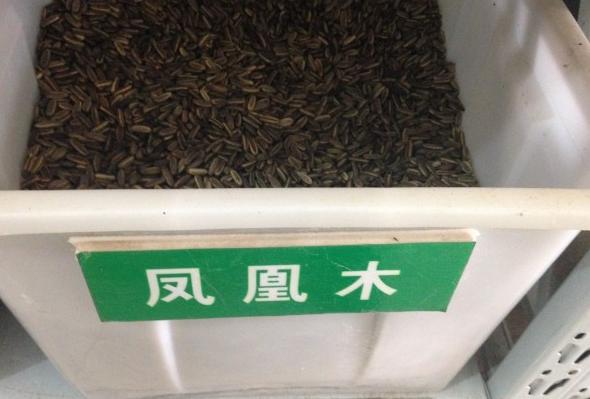 凤凰木种子直销