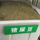 猪屎豆种子