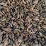桂花种子供应