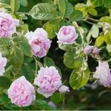 保加利亚大马士革玫瑰