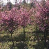 8公分红宝石海棠