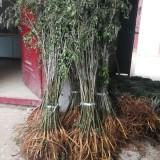 地径1公分紫穗槐