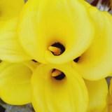 国产黄色马蹄莲