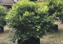 福建葡萄树 嘉宝果 树葡萄