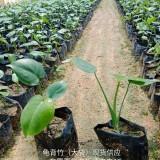 龟背竹 批发供应