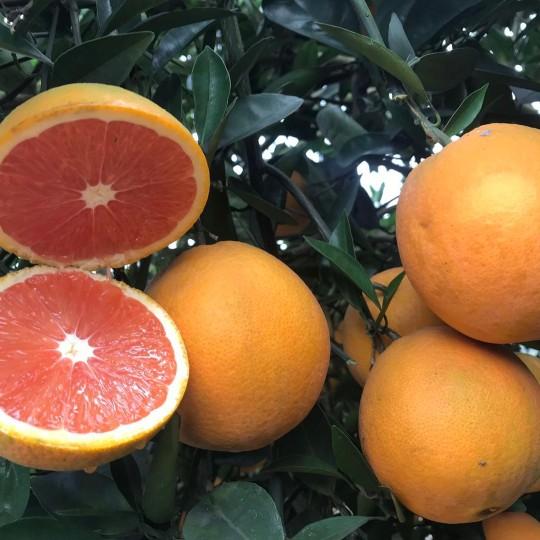 湖南柑橘基地直供大果红肉脐橙