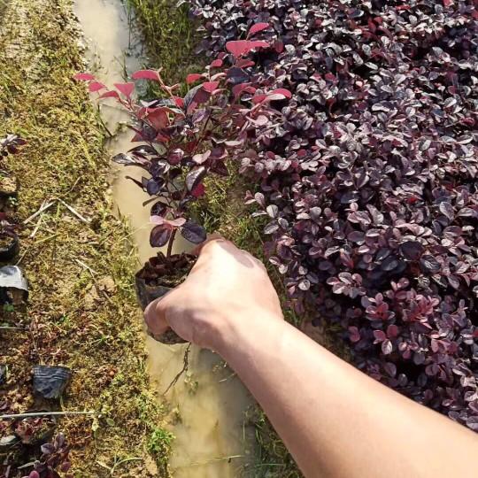 高25公分红花继木小苗