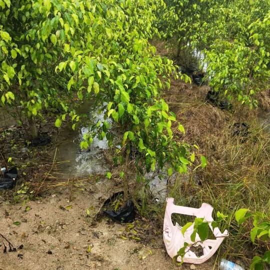 漳州垂叶榕