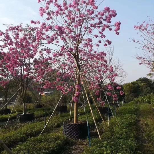 高度3米5紫花风铃木