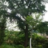 江苏高9米银杏树