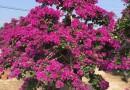 福建紫色造型三角梅