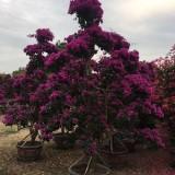 福建紫色造型杜鹃