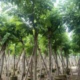 福建15公分腊肠树(阿孛勒)