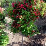 红王子锦带树