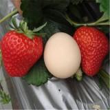 甜宝草莓苗