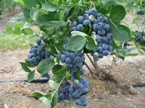 泰安喜来蓝莓
