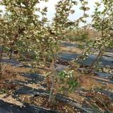 山东泰安北陆蓝莓苗