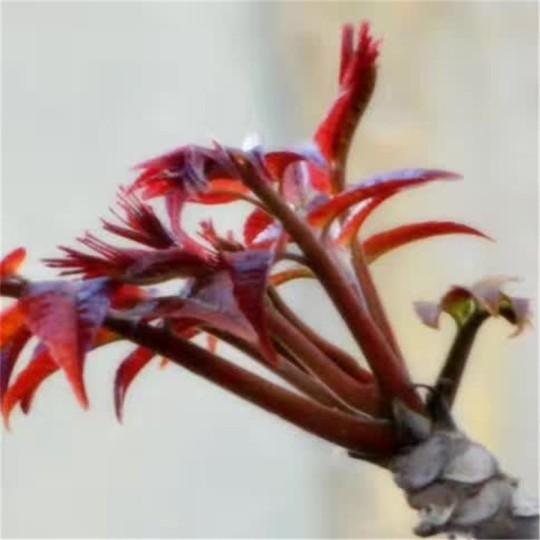 红油香椿苗批发