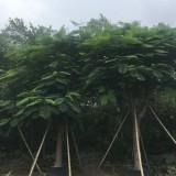 福建漳州米径20公分凤凰木