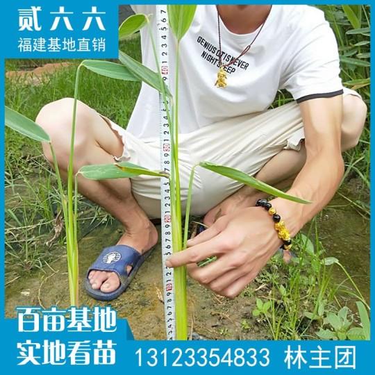 再力花水生植物袋苗