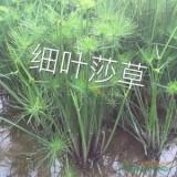 福建漳州纸莎草价格1.1