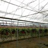 福建常春藤藤长1米